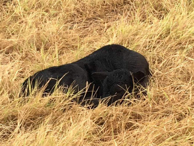 bull calf lying down