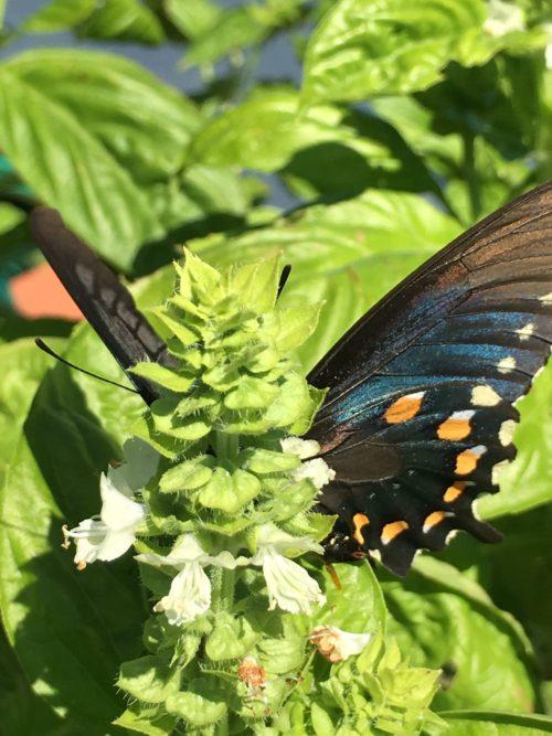 blue-butterfly-on-basil