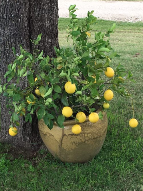 lemon-tree-pic